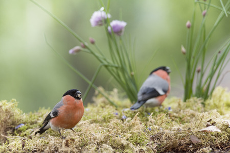 two male bullfinch are standing with chive