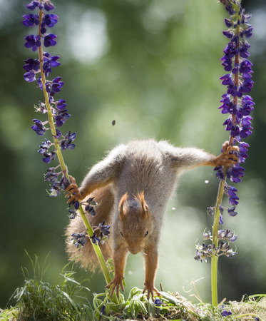 red squirrel jumping down between lupine
