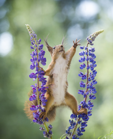 red squirrel is reaching between lupine