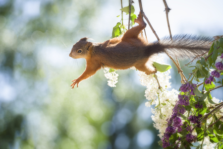 red squirrel is reaching out from a lilac branch