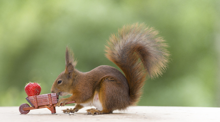 red squirrel and a wheelbarrow with a Strawberry Stock Photo
