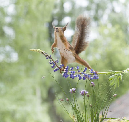red squirrel is jumping from a lupine  Stock Photo