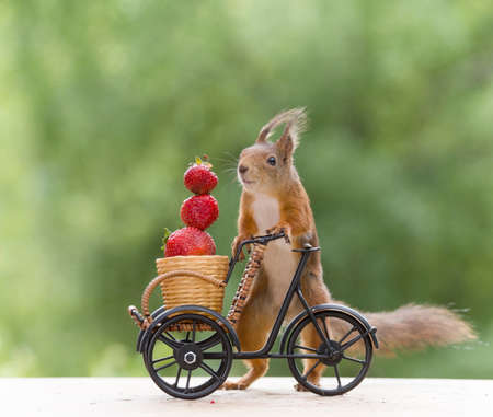 red squirrel with a cycle and Strawberry