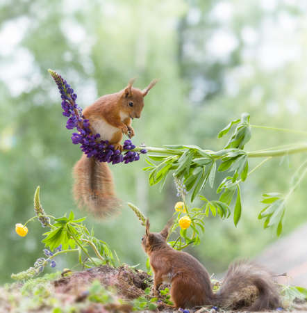 two red squirrels are under and on a lupine Stock Photo