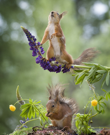 red squirrels are under and on a lupine  Stock Photo