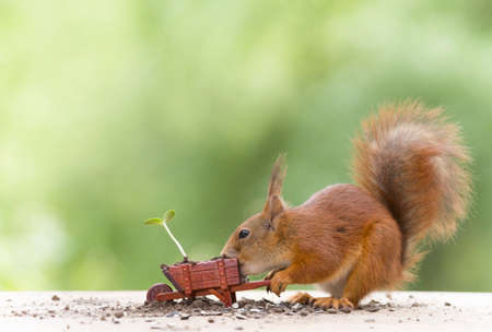 red squirrel with a wheelbarrow with sunflower plant