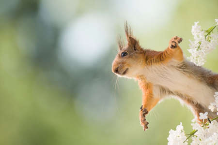 red squirrel jumping from lilac  branches