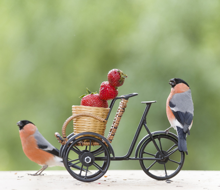 male bullfinch with Strawberry and a cycle   Stock Photo