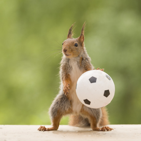 red squirrels is holding a ball Stock Photo
