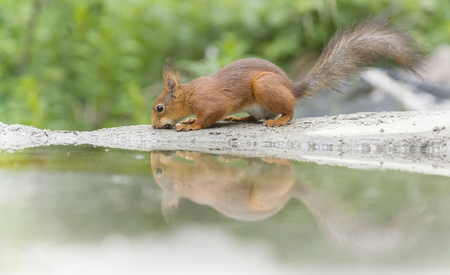 red squirrel is reflected in water  Stock Photo