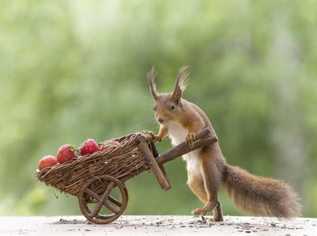 red squirrel and a wheelbarrow with Strawberries Stock Photo