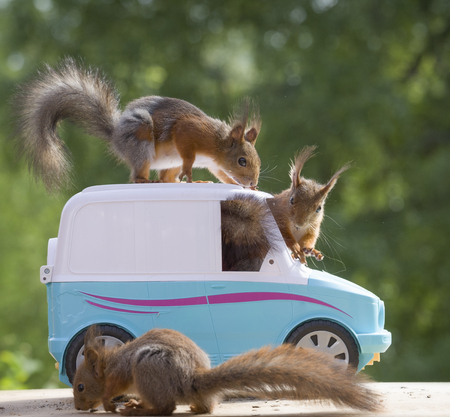 red squirrels together with a van