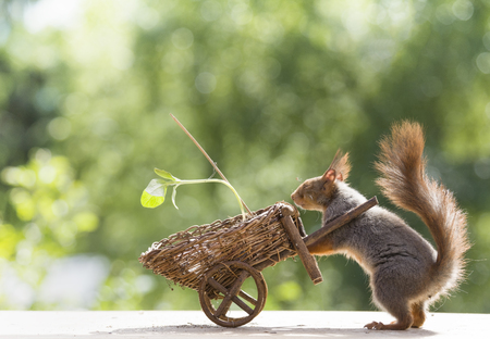 red squirrel with an sunflower in a wheelbarrow Stock Photo