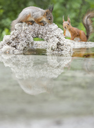 young squirrel reflected in water