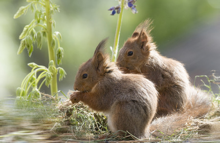 young red squirrels in front of lupine flowers