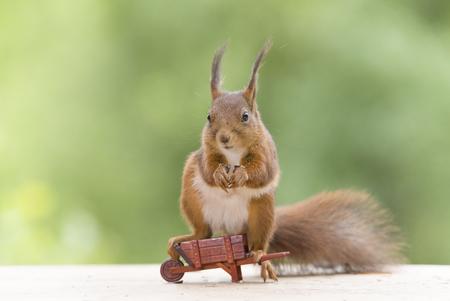 red squirrel is sitting on a wheelbarrow