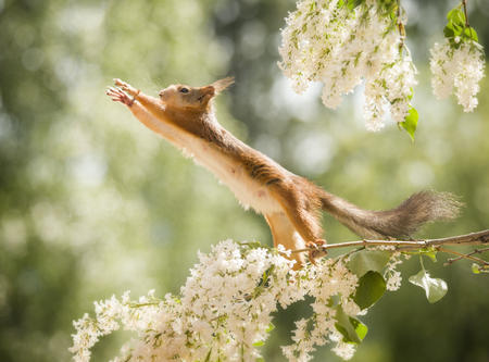 red squirrel is reaching up on lilac  branches