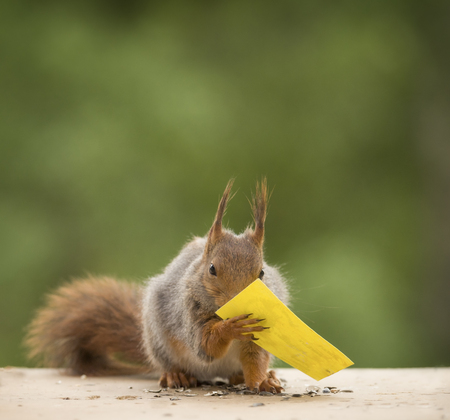 red squirrel holding a yellow card