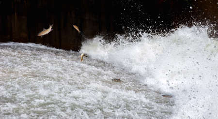 spawn: Mahseer barb fish jumping returning to spawn in Fish ladder, Water flow