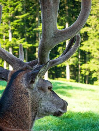 Deer in the bast
