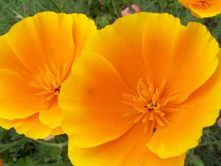 California Poppy (Eschscholzia californica) photo