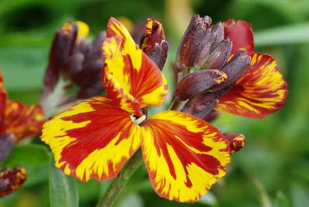 Wallflower 3 (Erysimum cheiri) photo