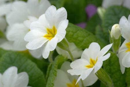 primroses: White primroses