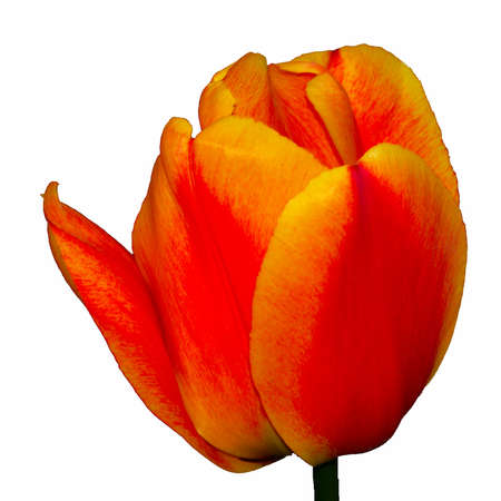Tulip 8 - cropped