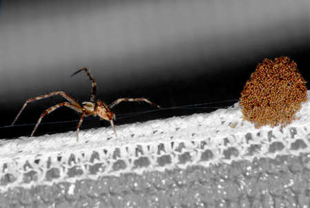 The spider and its eggs