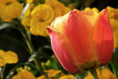 Tulip 10 Stock Photo