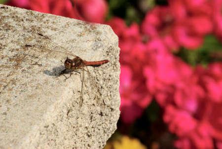 Dragonfly  Odonata  Stock Photo