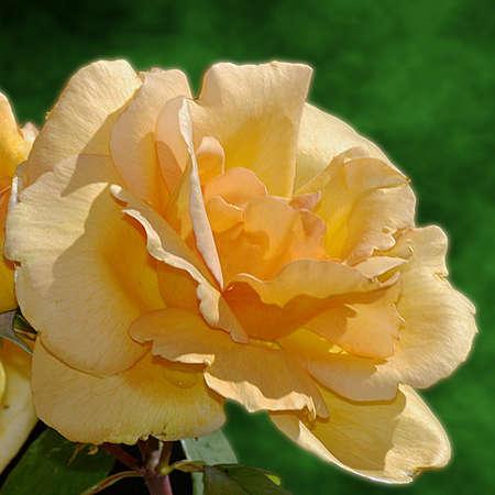 Salmon pink rose