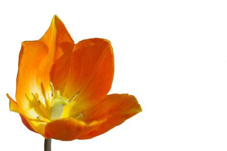 Orange tulip cropped