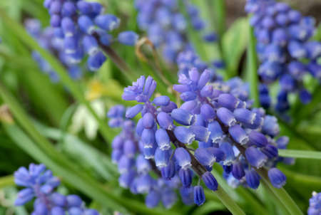 muscari neglectum 1 photo