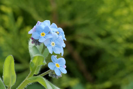 Close-up of a some myosotis flowers  forget-me-not