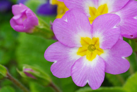 Heart of primrose Primula vulgaris