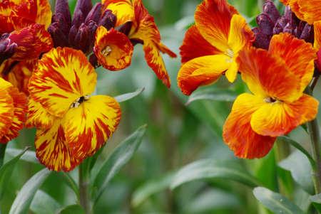 Head to head of wallflowers  Erysimum cheiri