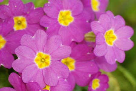 Pink primroses Primula vulgaris