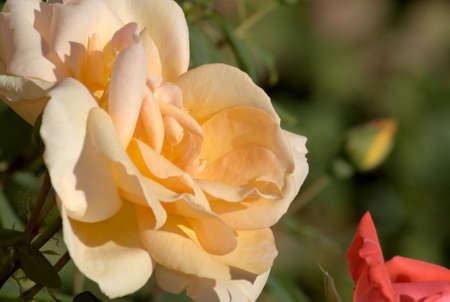 salmon pink rose 2