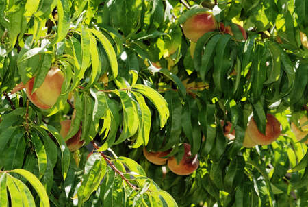 Prunus persica the peach tree 1