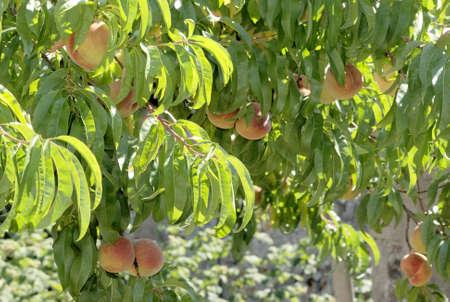 Prunus persica the peach tree 2 Stock Photo