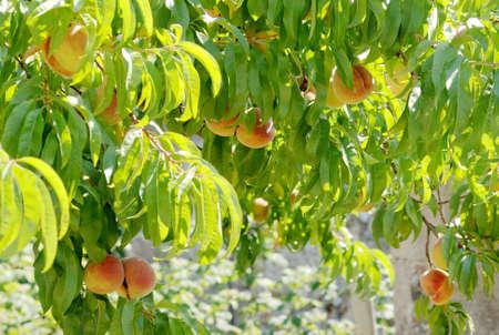 Prunus persica the peach tree 3 Stock Photo