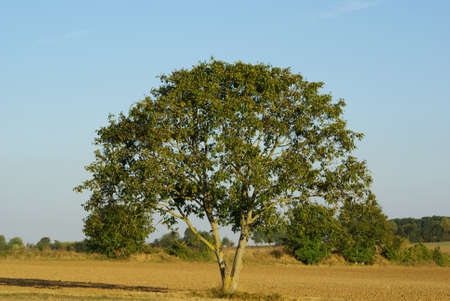 countryside tree in summer