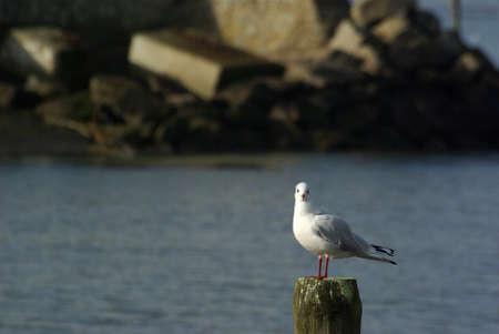 Chroicocephalus ridibundus the black-headed gull