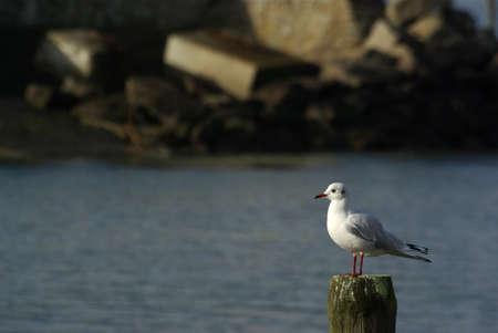 Chroicocephalus ridibundus the black-headed gull  Stock Photo