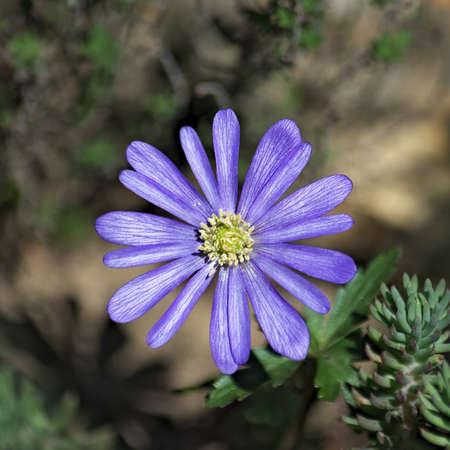 Anemone blanda 3 - Grecian Windflower Stock Photo