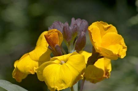 Orange wallflowers  erysimum cheiri
