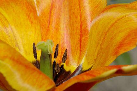 Heart of tulip  Tulipa