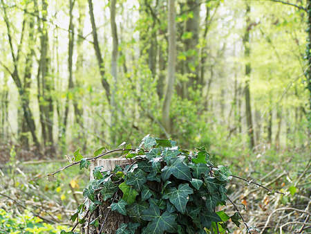 stifle: Ivy  Hedera helix