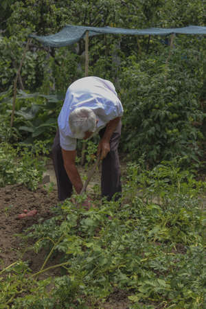 red skinned: Man Digging Potatoes in the garden. Potatoes is red skinned